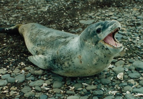 seals have mating calls!