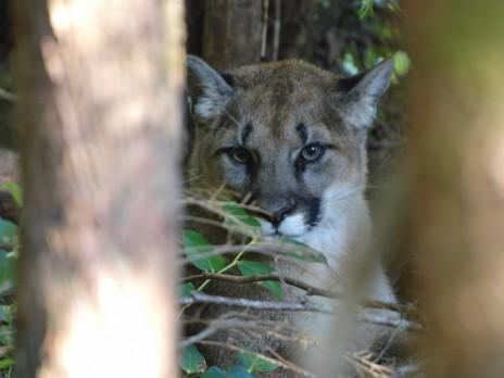 Local Cougar In My Neighborhood