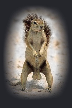 Squirrel with big balls - classic picture!