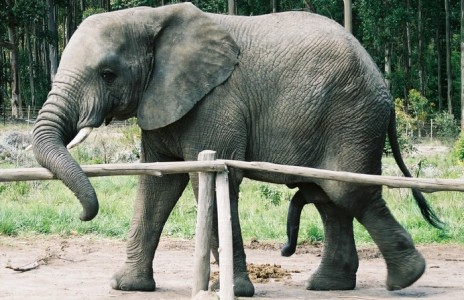 Masturbating an elephant