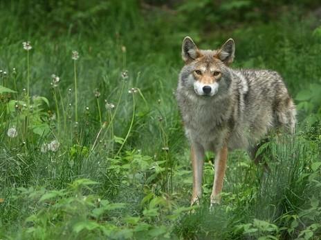 Dern Coyotes