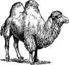 World of Camels