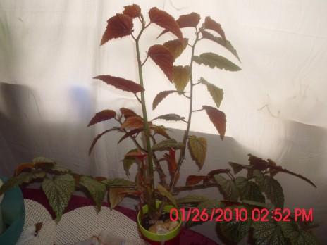 My Angel winged begonia