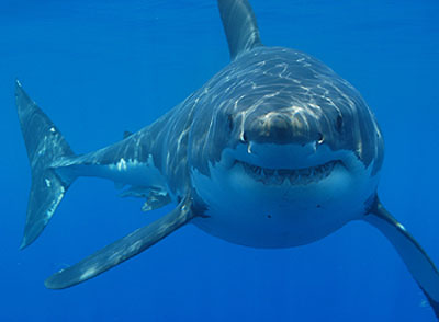 sydney shark is dead