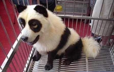 I bought a Panda from the black market!