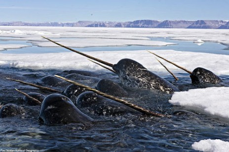 Narwhals, narwhals