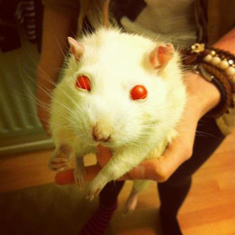 I stuffed a rat