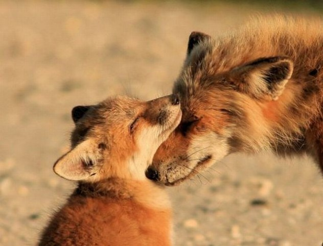 4304947_139135452622_Foxes-Have-a-Moment-632x482.jpg