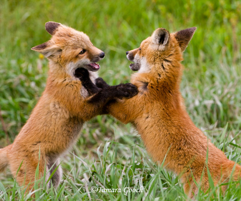 4304947_139135458171_two_fox_kits_playing_photo_tgooch0020.jpg
