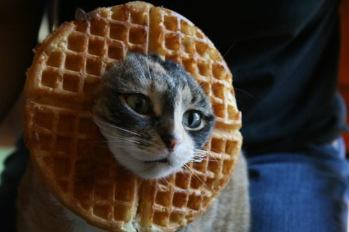 4118967_142786407721_cat-waffle.jpg