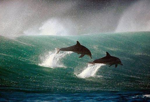 258514_147355071573_dolphins.jpg