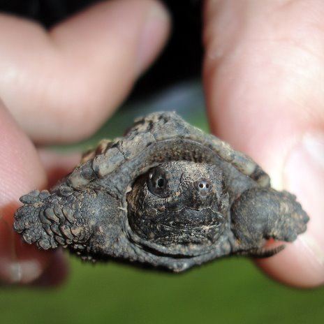 Baby snapping turtle saved!