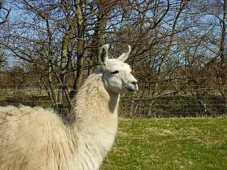Llama's.