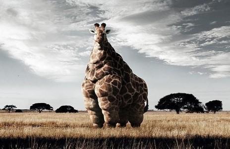 fat giraffe.