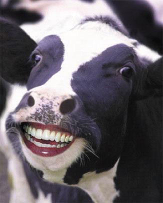 O holy cow
