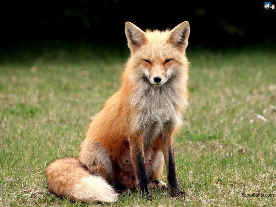 5465015_145288238793_foxes-0a.jpg